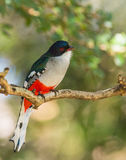 Cuban Trogon on a branch. The Cuban Trogon (Priotelus temnurus) is not only another endemic species to the Island of Cuba but also the national bird stock photography