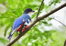 A cuban trogon. Priotelus temnurus. Royalty Free Stock Photography