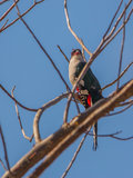 Cuban Trogon on a tree Stock Photos