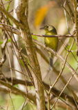 The Cuban Vireo Stock Photo