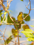 A Cuban Vireo on a branch Royalty Free Stock Photo