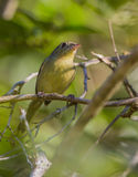 Cuban Vireo close-up Stock Photography