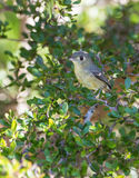 Cuban Vireo in the thicket Royalty Free Stock Photos