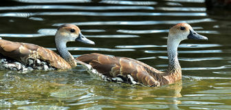 Cuban or West Indian Whistling Duck Royalty Free Stock Photo