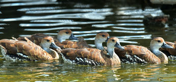 Cuban or West Indian Whistling Duck Stock Image