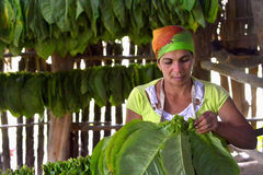 Cuban woman working in a cigars factory. VINALES, CUBA - FEBRUARY 17: Cuban woman working in a cigars factory.The woman touching tobacco leaves for production of royalty free stock photography