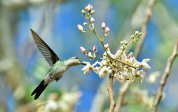 Cubano Emerald Hummingbird do voo (ricordii de Chlorostilbon) imagens de stock