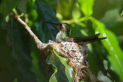 Cubano Emerald Hummingbird no ninho Fotografia de Stock Royalty Free