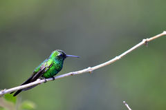 Cubano Emerald Hummingbird (ricordii de Chlorostilbon) imagens de stock royalty free