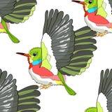 Cubano senza cuciture del modello Tody Bird esotico Illustrazione di vettore Fotografia Stock