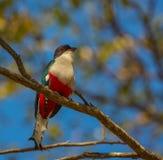 Cubano Trogon su un albero fotografia stock