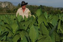 Cubans farmer standing in his tabacco plantation in Vinales. Where some of the world finest tabacco is growing royalty free stock photo