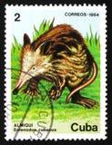 Cubanus de Solenodon del roedor, circa 1984 Imagenes de archivo