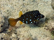 Cube Boxfish. As its name implies, the boxfish is a box shaped fish, it is found in the shallower parts of the reef. It is able to secrete poison from it's skin royalty free stock photos