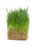 Cube of germinated oat (grass). Cube of germinated oat (grass looking) for pets Royalty Free Stock Photo