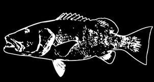Cubera攫夺者钓鱼在黑背景的掠食性动物 皇族释放例证