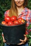 A cubeta completa de tomates maduros recolheu em uma estufa home fotografia de stock royalty free