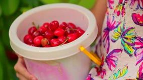 Cubeta completamente das cerejas nas mãos da menina vídeos de arquivo