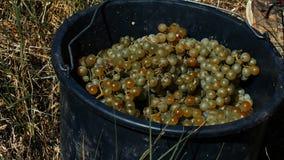 Cubeta das uvas brancas filme