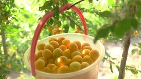 Cubeta de ameixas amarelas vídeos de arquivo