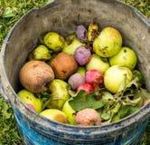 A cubeta de frutos podres do outono Fotos de Stock
