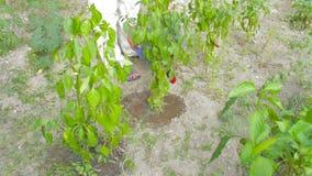 Cubeta molhando do jardim vídeos de arquivo