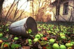 Cubeta podre de encontro e muitas maçãs verdes Foto de Stock