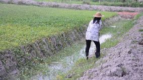 Cubeta tailandesa do uso da mulher da árvore molhando da água no jardim vídeos de arquivo