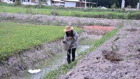 Cubeta tailandesa do uso da mulher da árvore molhando da água no jardim video estoque