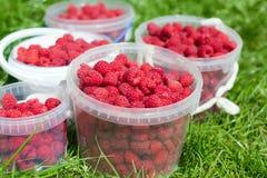 Cubetas brancas com as framboesas maduras vermelhas Imagem de Stock