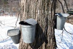 Cubetas da árvore e da coleção do açúcar de bordo imagem de stock royalty free