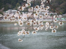 Cubierta de las ramas de la flor de cerezo en el río Fotografía de archivo libre de regalías