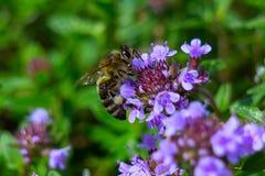 Cubierta de tierra del tomillo púrpura hermoso Fotos de archivo libres de regalías