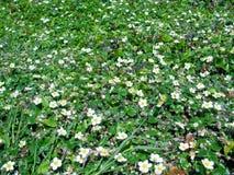 Cubierta de tierra de la fresa costera Fragaria Chiloensis Fotos de archivo libres de regalías