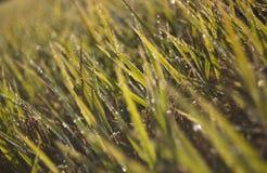 Cubierta del campo del arroz por el rocío de la mañana fotos de archivo libres de regalías