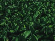 Cubierta del jacinto de agua la charca Ciérrese encima de fondo verde de la textura de la hoja Naturaleza tropical hermosa del mo fotografía de archivo libre de regalías
