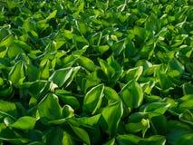 Cubierta del jacinto de agua la charca Ciérrese encima de fondo verde de la textura de la hoja Naturaleza tropical hermosa del mo fotos de archivo libres de regalías