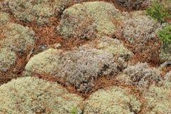 Cubierta del liquen en un bosque. Bahía georgiana, Ontario, Canadá Imagen de archivo libre de regalías