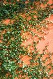Cubierta que sube del árbol verde en la pared Foto de archivo