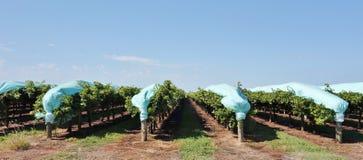 Cubiertas azules protectoras del plástico sobre filas de vides. imagenes de archivo
