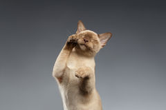 Cubiertas del hocico de las patas del gato de Birmania en gris imagenes de archivo