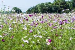 Cubierto con la flor del bipinnata del cosmos de la hierba Imagenes de archivo