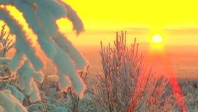 Cubierto con las ramas de árbol de la nieve y de la escarcha contra el rosa el cielo y el brillar intensamente asolean almacen de video