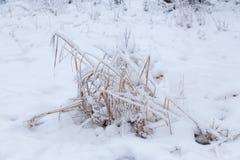 Cubierto con nieve en la hierba congelada del pantano Imagen de archivo libre de regalías