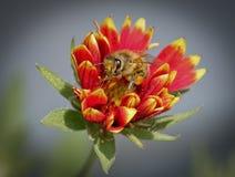 Cubierto en polen Fotografía de archivo libre de regalías