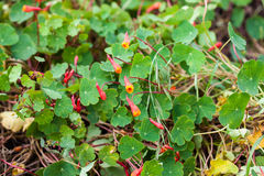 Cubios Tropaeolum tuberosum at cultivation field Stock Photo