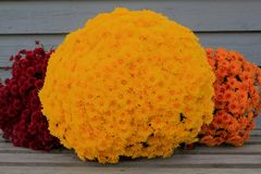 Cubo colorido rojo, momias amarillas, anaranjadas de la caída Fotos de archivo libres de regalías
