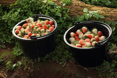 Cubo de fresas recientemente escogidas en jardín Imagenes de archivo