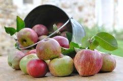 Cubo de manzanas Fotografía de archivo libre de regalías