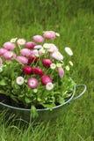 Cubo de plata grande por completo de flor del rosa de la margarita, roja y blanca de la margarita Imágenes de archivo libres de regalías